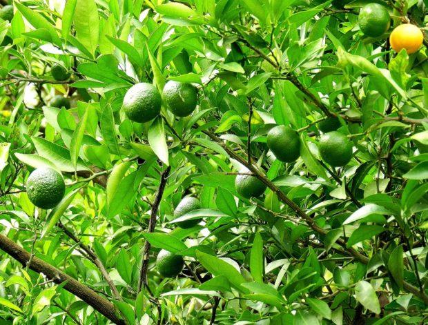 Tokugawa's mandarine tree
